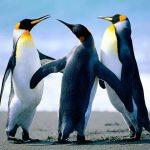 La danse des pingouins