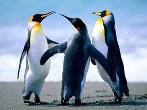 La danse des pinguins