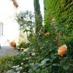 roses au jardin