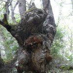 arbre torturé